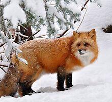 Red Fox by Nancy Barrett