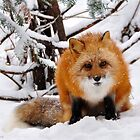 Foxy Face by Nancy Barrett