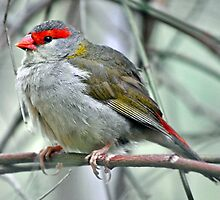 Red Browed Firetail by Tom Smeaton