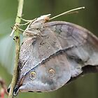 Autumn Leafwing by Astrid Ewing Photography