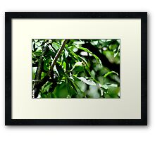 Pear on willow Framed Print