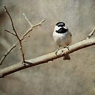 Black-capped Chickadee  by TraceyTilsonArt