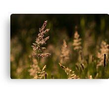 Backlit Grasses..... Canvas Print