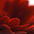 Red Gerbera by Robert Worth
