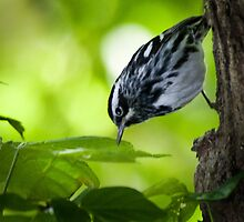 Black and White Warbler by Rupert Mcgrath