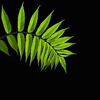 Sumac Leaf on Black by Debbie Pinard