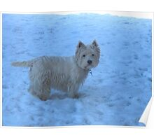 I am a West Highland White Terrier!!! Poster