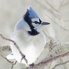Blue Jay Profile by lorilee