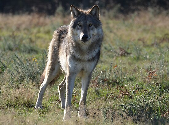 NORTH AMERICAN TIMBER WOLF by Ben Smith