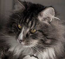 Cute cat with amazing eyes by MatsJacobsen
