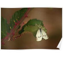 White Butterfly at the Kirk Poster