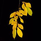 Yellow leaves of autumn by John Kelly