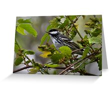 Blackpoll Warbler Greeting Card