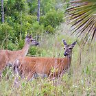 Whitetail Deer at Cape San Blas, Florida by DonCondley