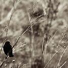 Redwing Blackbird by Garth  Helms