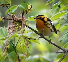 Blackburnian Warbler by Rupert Mcgrath