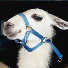 Llama At The Fair by WildestArt
