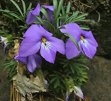 Birdsfoot Violet by DonCondley
