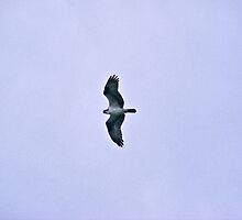 Osprey by DonCondley