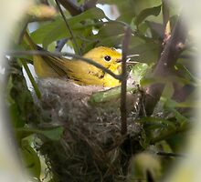 Yellow Warbler in Nest by Rupert Mcgrath