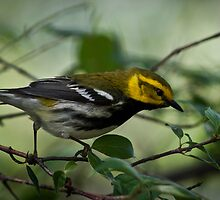 Black-Throated Green Warbler by Rupert Mcgrath