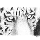 Tiger face by Jeffrey Phillips