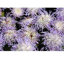Purple Anemone Photographic Print