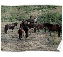 South Devon Dartmoor Pony Herd Gathering On Coastpath Poster