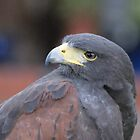 Harris Hawk by Rachelo