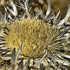 Thistle flower by Pier Luigi Maschietto