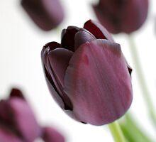 Purple Tulips by Greg Morris