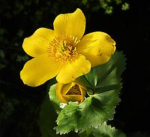Marsh Marigold in pond by Rivendell7