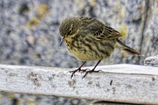 Rock Pipit 2 by lynn carter