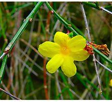 Little Yellow Flower Photographic Print