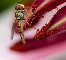 Hoverfly and Lily by Catherine Breslin