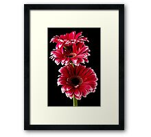 Triple Red Gerbera Framed Print