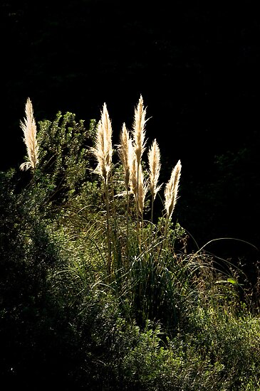 Backlit Reeds by photografixdesi
