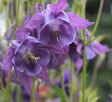 My Purple Columbine Twins by Rose Landry