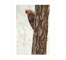Gila Woodpecker (Male) ~ Curious Art Print