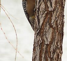 Gila Woodpecker (Male) ~ Curious by Kimberly Chadwick