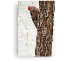 Gila Woodpecker (Male) ~ Curious Canvas Print