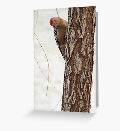 Gila Woodpecker (Male) ~ Curious Greeting Card