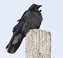 The Vocal Common Raven by DigitallyStill