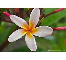 A Wet Frangipani Flower  Photographic Print