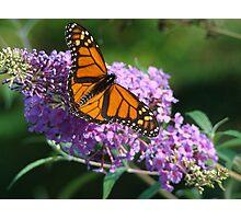 Monarch & Lilac Photographic Print