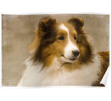 Beautiful Sheltie Poster