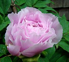 Pink Tree Peony Blossom by MotherNature