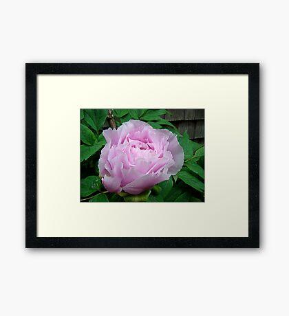 Pink Tree Peony Blossom Framed Print