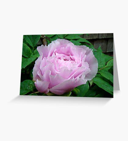 Pink Tree Peony Blossom Greeting Card