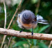 Grey Fantail drying off by Keith Smith